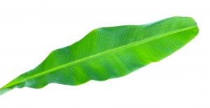 Buy Banana Leaf