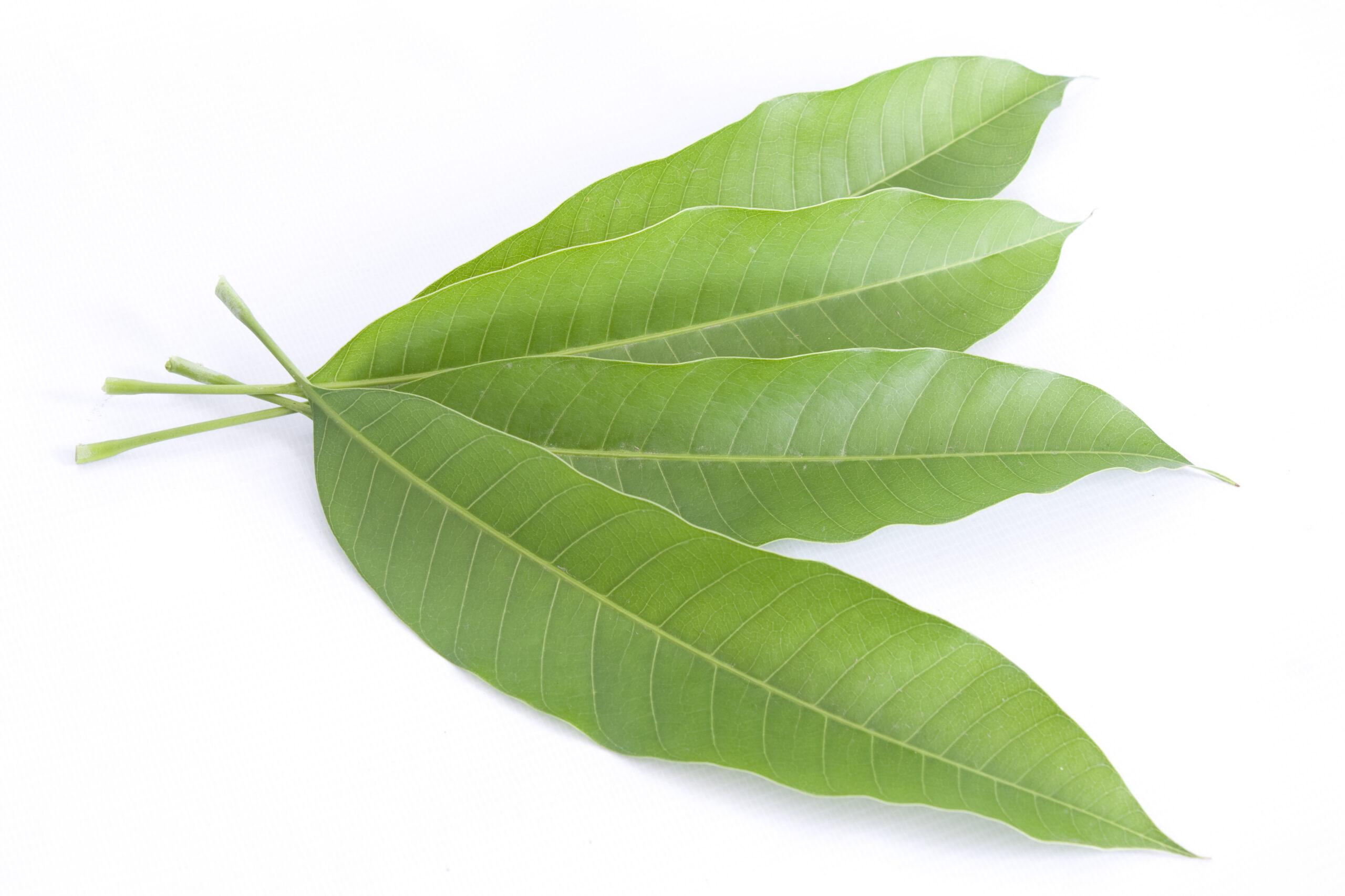 Buy Green Mango Leaves